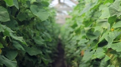 Harvest cucumbers in a greenhouse Stock Footage