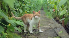 Red cat in a greenhouse with cucumbers Stock Footage
