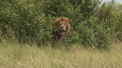 African Lion (Panthera leo) male scent marking in bushes Stock Footage