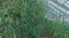 Tomatoes on the branches in the greenhouse Stock Footage