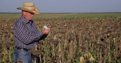 Farm Owner Count Cash Profit in Business Deal with Sunflower Agriculture Product Stock Footage