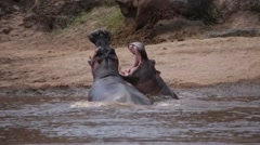 HIPPOS FIGHTING WITH OPEN MOUTH IN THE AFRICAN SAVANNA Stock Footage