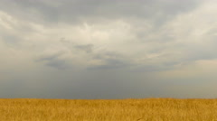 Field of wheat under storm front moves across an open field bringing rain. Ti Stock Footage