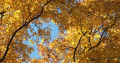 Autumn Leaves Golden Yellow Against Blue Sky with Light Breeze, static shot Stock Footage