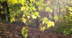 Autumn Leaves Backlit by the Sun with Wind, static shot Stock Footage