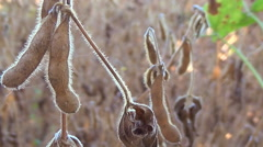 Soybeans Ready for Harvest, Soy Bean Stock Footage