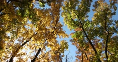 Autumn Leaves Yellow & Green Against Sky & Sun Light Breeze Stock Footage