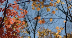 Autumn Red & Yellow Maple Leaves in the Wind Against Blue Sky, static shot Stock Footage