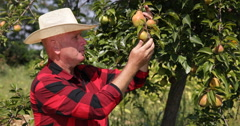 Farmer Examine Pear Fruits Characteristics Produced in His Organic Farm Orchard Stock Footage
