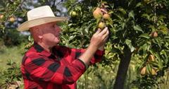 Farmer Examine Pear Fruits Characteristics Produced in His Organic Farm Orchard Stock Footage