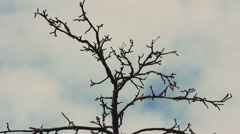 Dry tree branches against the sky Stock Footage
