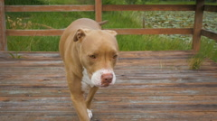 Beautiful Pit Bull Dog on a Dock Stock Footage