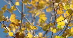 Autumn Yellow Leaves Against Blue Sky, Slider Motion Up Stock Footage