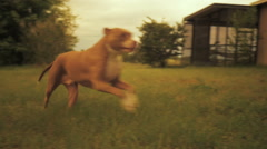 Pit bull runs past camera at full speed Stock Footage