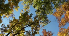 Looking Up At Autumn Trees Against Blue Sky with Light Breeze, static shot Stock Footage