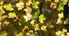 Backlit Orange and Green Autumn Leaves in Forrest, static shot Stock Footage