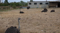 Ostriches on a Farm Stock Footage