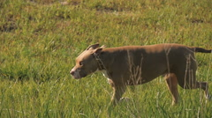 Pit Bull Dog running through Grassy Field Stock Footage