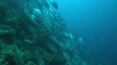A school of Trevallies on a coral reef Stock Footage