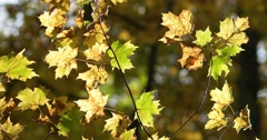 Backlit Orange and Green Maple Leaves, static shot Stock Footage