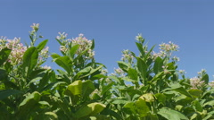 Blossoming tobacco plant field Stock Footage