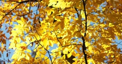 Bright Yellow Autumn Leaves Against Blue Sky with Slight Breeze, static shot Stock Footage