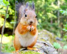 Squirrel eating a nut closeup in Helsinki, Finland. Stock Photos