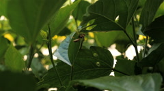 Close Up of Wasp on a Leaf then Flies out of frame Stock Footage