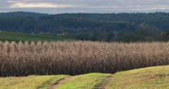 Dried Corn Field in Valley with Slight Breeze, static shot Stock Footage