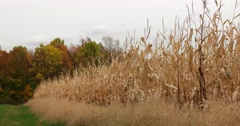Dry Corn Field in Autumn with Slight Breeze, static shot Stock Footage