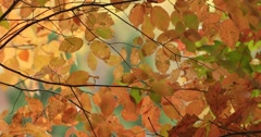 Elm Tree Autumn Yellow Leaves with Slight Breeze, static shot Stock Footage
