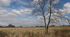 Black Walnut Tree in Field with Blue Sky & Clouds, static shot Stock Footage