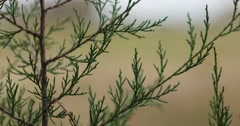 Evergreen Branches Up Close with Field in Background, Slight Breeze, static shot Stock Footage