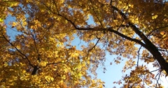 Golden Autumn Leaves against Blue Sky, static shot Stock Footage