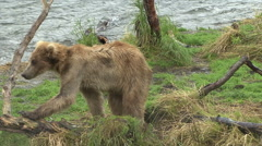 A Brown Bear steps on a tree stump while looking into water at Brooks Falls. Stock Footage