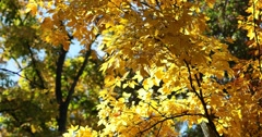 Golden Autumn Leaves Against More Trees with Slight Breeze, static shot Stock Footage