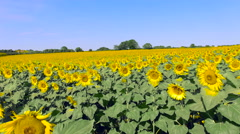 Flying Across Sunflower Field 4K Stock Footage