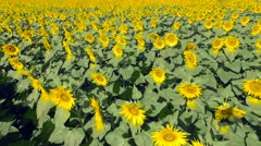 Flying Over Sunflower Field 4K Stock Footage
