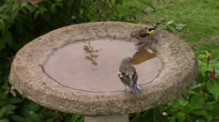 Chaffinch, Goldfinch and Blue Tit drinking from a birdbath. Stock Footage