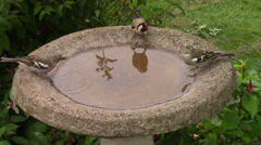 Greenfinch and Goldfinch drinking from a birdbath. Stock Footage