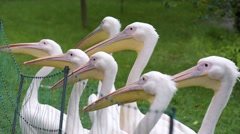 Great White Pelican Stock Footage
