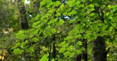 Green Maple Leaves Brightens with Sun Over Time, Light Breeze, static shot Stock Footage