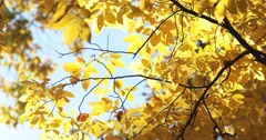 Yellow Autumn Leaves Against Bright Sky with Slight Breeze, static shot Stock Footage