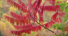 Red Sumac Tree in Autumn, static shot Stock Footage