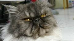 Persian grey cat Stock Footage