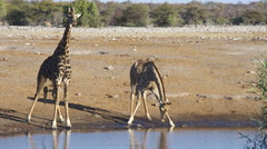 Wild Animals of Africa : Giraffes Drinking Stock Footage
