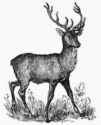 Stag (illustration) Stock Illustration