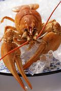 Freshwater crayfish on plate with crushed ice Stock Photos