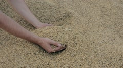 Wheat in hands, good harvest. Storage of grain. Human hand touching grain. Stock Footage