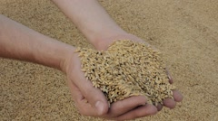 Strong man's hands takes a lot of wheat grains. Farmer's hands pour golden grain Stock Footage